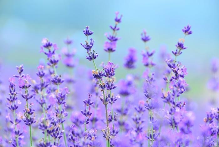 ラベンダーの花言葉は「期待」「繊細」「優美」などです。ラベンダーには精神を安定させる作用があるので、リラックスしたいときにアロマなどを使われる方も多いのではないでしょうか?