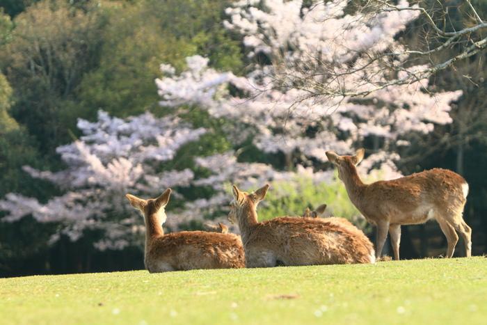 奈良公園の広大な敷地には、ソメイヨシノをはじめ、八重桜やヒガンザクラ、ヤマザクラなど約1,700本の桜が植えられています。それぞれの開花時期が少しずつ違うため、3月下旬~4月下旬までさまざまな桜が楽しめますよ。 【アクセス】近鉄奈良駅から徒歩約5分