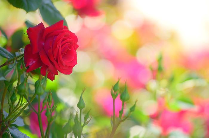 赤いバラは、「愛情・情熱・あなたを愛します」といった花言葉を持ちます。深い愛情の証を象徴する花言葉を持つ赤いバラが咲くバラ園に、大切な人と一緒に訪れてみてはいかがでしょうか。