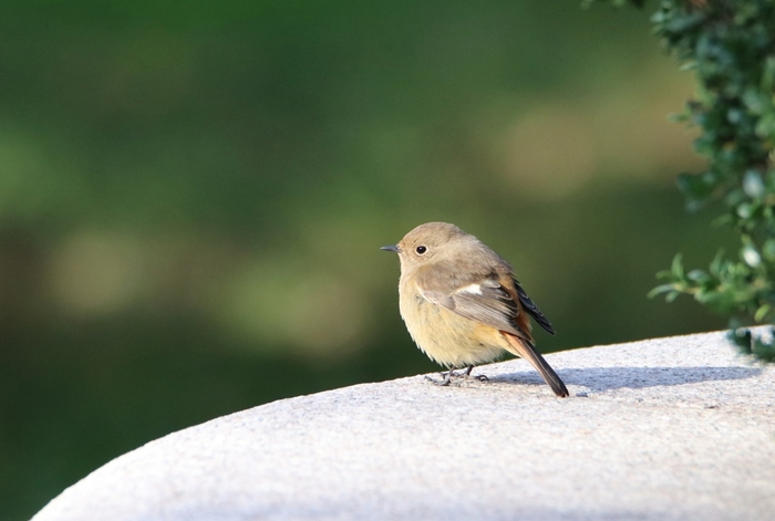 個人的なお話になりますが、田舎へ引っ越してからというもの、毎年冬が近くなると訪れてくれる野鳥を心待ちにしている自分がいます。「シロハラ」という渡り鳥が何故か私を気に入ってくれて、2年ほど連続で我が家を訪れてくれたり、ジョウビタキに気に入られて?赤い実のプレゼントをもらったり・・・野鳥を飼う事はできませんが、こうして小さな幸せを届けてくれる彼らに毎年感謝をしています。