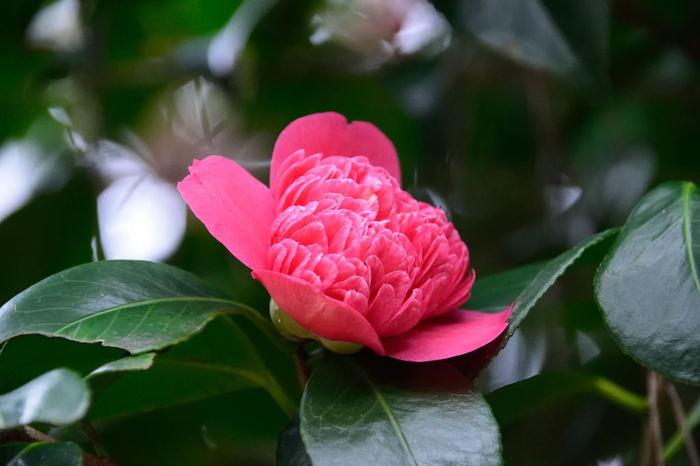 紅卜伴(ベニボクハン)という品種。唐子咲きとは、雄しべ全体または葯が花びらのような形の小花弁となって、花の中心部にまとまった咲き方のこと。かなりボリューム感のある花が咲くから、散って下に落ちた姿もインパクトがあります。