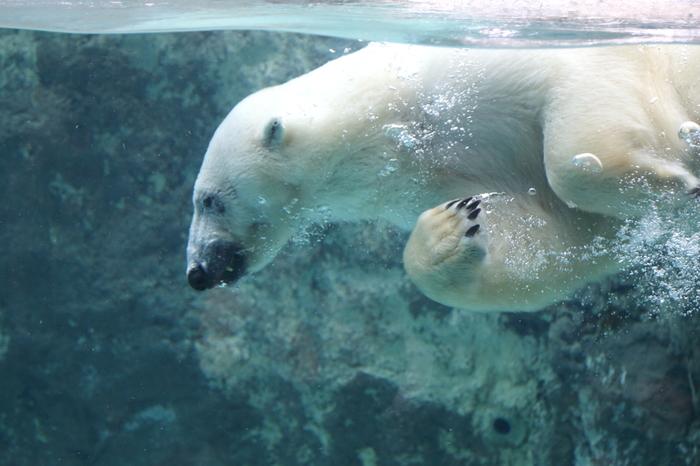 巨大プールが設置されたホッキョクグマ館では、ホッキョクグマが海に飛び込むダイナミックな姿や水中を優雅に泳ぐ様子を観察することができます。