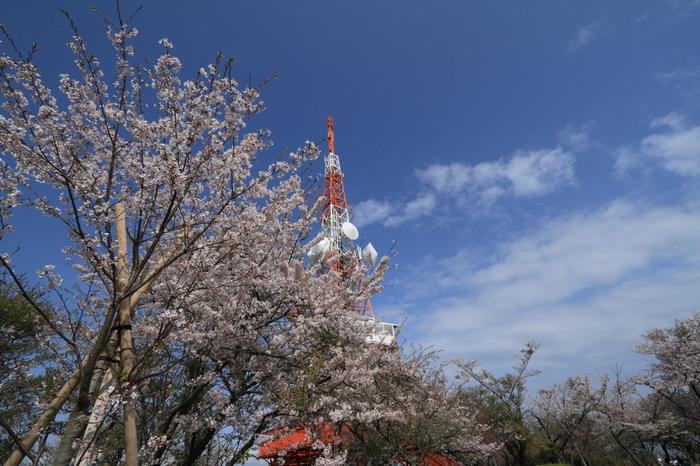 ここ湘南平は桜の名所としても知られており、頂上へは車でもアクセスできるので、桜の季節には夜桜と夜景の両方を楽しむことができます。