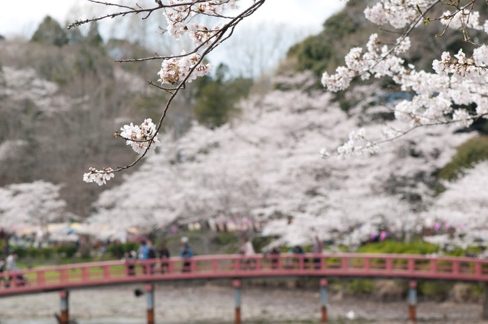 日本さくらの名所100選にも選ばれている、こちらの茂原公園には、なんと約2600本もの桜が植えられているんです。