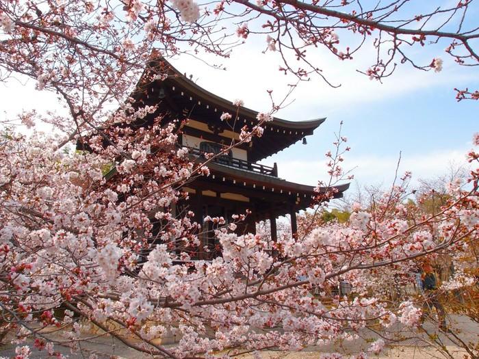 勧修寺で観る桜吹雪の素晴らしさは格別です。藍色をした夜明け前の空を背景に、はらりはらりと桜の花びらが舞い散る様は、まるで空から星が降り注いでいるかのようです。