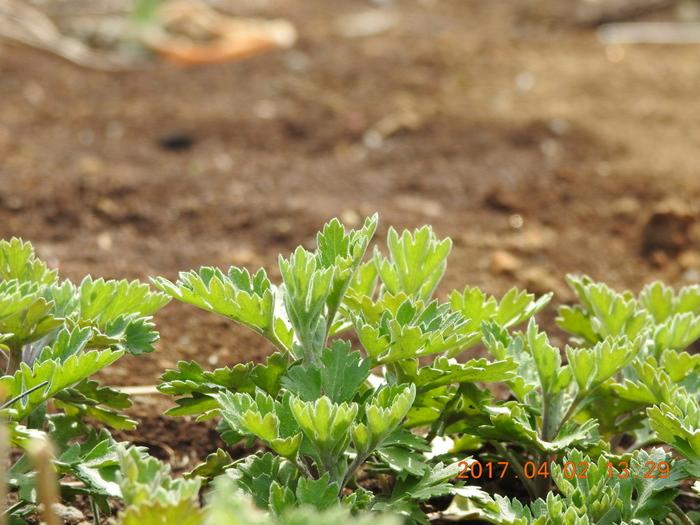 キク科の多年草。お灸で使われる艾(もぐさ)としても知られていますが、昔から生薬として大切にされてきた野草です。