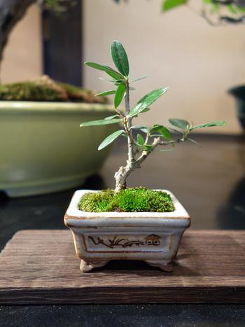 手のひらサイズのミニ盆栽。盆栽って小難しいイメージが先行してしまいがちだけど、肩ひじはらずにカジュアルな感覚で始められる「ミニ盆栽」、ちょっと試してみませんか?ゆっくりと時間をかけて好みの樹形に変えていく楽しみに、案外ハマってしまうかも!