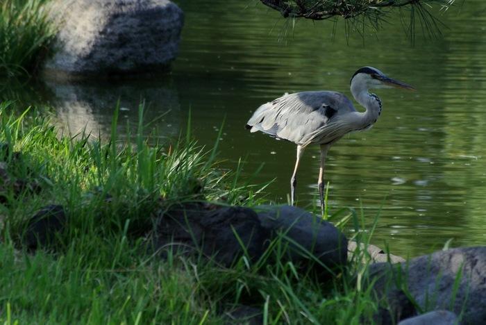 池の周囲には鳥や亀などの生き物の姿も。アオサギと呼ばれるこちらの鳥は、水辺に生息するペリカンの仲間。街中ではなかなか目にすることのない鳥なので、見つけたらじっくり観察してみましょう!