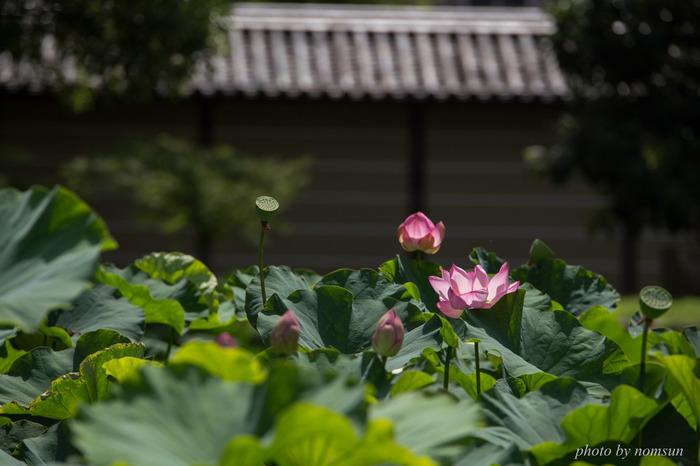 """東寺は、世界遺産として規模の内容を誇り、寺宝、文化財に溢れ見所が多い寺院ですが、境内に咲く""""蓮""""も見事です。歴史的文化財を背景に咲き開く""""蓮""""の眺めは、京都ならではのしみじみとした景色です。  東寺は京都駅から徒歩圏内なので、夏季に京都を訪れるのなら、ちょっと立ち寄るのにお勧めの名所です。"""