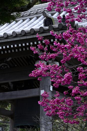 鎌倉の西方極楽浄土ともいわれ、一年を通じて花が見られるため、「花の寺」としても有名です。 各月ごとに、どんな花が楽しめるかがカレンダーになっているのでチェックしてみるのもいいでしょう。 冬場は、梅、さざんか、椿などが見られます。