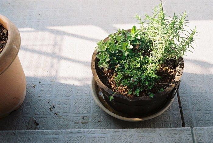 ハーブは種子から苗を育てて、その苗を大きく育てる事ができます。芽が出てきた時はちょっと顔がほころびます。小さなフタバにはそんな魅力があります。生育の早いハーブは播種育てが適しています。 ラベンダーやローズマリーなどは苗木か挿し木のほうが良いでしょう。もともと肥沃な土地ではなくやせ地など厳しい環境でも育ちますから大丈夫です。