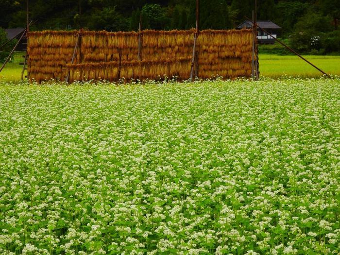 【9月中旬の蕎麦の花咲く美山かやぶきの里】