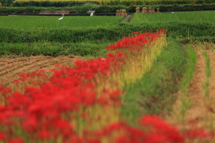 【9月下旬の頃の穴太寺周辺の畦に咲く彼岸花】