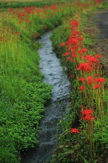 畦や道端等に群生するヒガンバナは、全草有毒の多年生の球根性植物。9月中旬の初秋の頃、花茎が地上から伸びて、赤い花を咲かせます。  ちょうど秋の彼岸の頃に開花することから名付けられた「彼岸花」は、「曼珠沙華(マンジュシャゲ・マンジュシャカ)」という別名がありますが、これは仏教における「天の花」という意味で、サンスクリット語を音写したものです。  (※仏教の天の花は純白でヒガンバナとは似ても似つかない花と云われています。) 【9月下旬頃の穴太寺周辺の彼岸花】