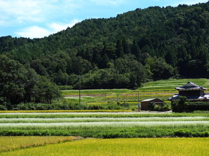"""亀岡市の西南端、西別院町犬甘野(いぬかんの)地区は、昼夜の寒暖差が大きく、水も空気も清涼な標高400mの山間地。関西一の""""蛍の名所""""として有名です。また、京都の蕎麦の産地としても知られ、当地では恵まれた気候風土を活かして、蕎麦の他、野菜や米等、様々な農産物が生産されています。【稲穂と蕎麦の花のコントラストが美しい、9月中旬の犬甘野の風景。】"""