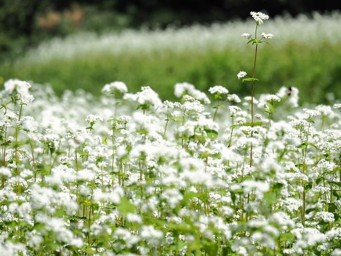 """京都の特産品に指定されている""""犬甘野そば""""は、香り強く風味豊かな蕎麦として有名です。毎年稲穂が色づく頃になると、白い可憐な蕎麦の花が咲き開きます。"""