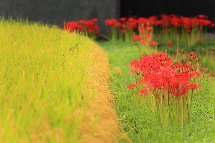 死人花、捨子花等など、墓地にも自生しているためか、有毒性のためか、忌み嫌われる異名を多くもつ「彼岸花」ですが、葉と花が同時に地上に出ないヒガンバナの花姿は、凛として美しく、稲田を背景に群生する花景色は、実に幻想的です。  列島各地で自生していますが、元々は、縄文期に稲作とともに渡来し、人の手を介して広まった植物です。畦や土手に多く植えられているのは、有毒の球根の根が畦の土を締め、田畑を荒らす小動物を遠ざかせるためと云われています。 【「穴太寺」周辺の彼岸花】
