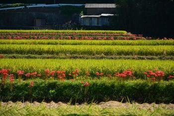 【9月下旬の千歳車塚古墳周辺の彼岸花の景色】