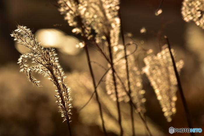 柔らかな夕陽に照らされたススキは、まるで宝石のようにキラキラと輝きます。あえてぼんやりとしたピントで撮影するのもきれいですよね。