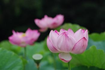 神奈川県横浜市にある三渓園も関東で有名な蓮の名所。こちらは例年7月中旬~8月中旬頃が見ごろと言われています。蓮池ではきれいに咲き誇る大輪の花を観賞できます。