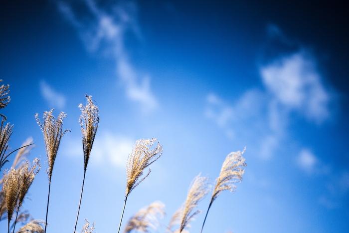 抜けるような青空にまっすぐ穂を伸ばすススキ。薄く広がった雲とのバランスもきれいです。