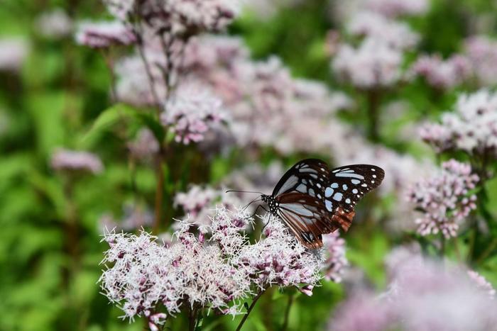 【アサギマダラは、春から夏に本州の高原地帯で繁殖し、気温が下がる秋になると、温暖な環境を求めて南下し、九州、沖縄本島、八重山諸島、台湾へと海を越えて移動し、春から夏にかけて再び本州へと戻ってくる習性があります。】