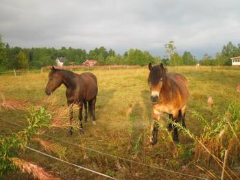 スウェーデンでは馬も人気のペットなんですよ。