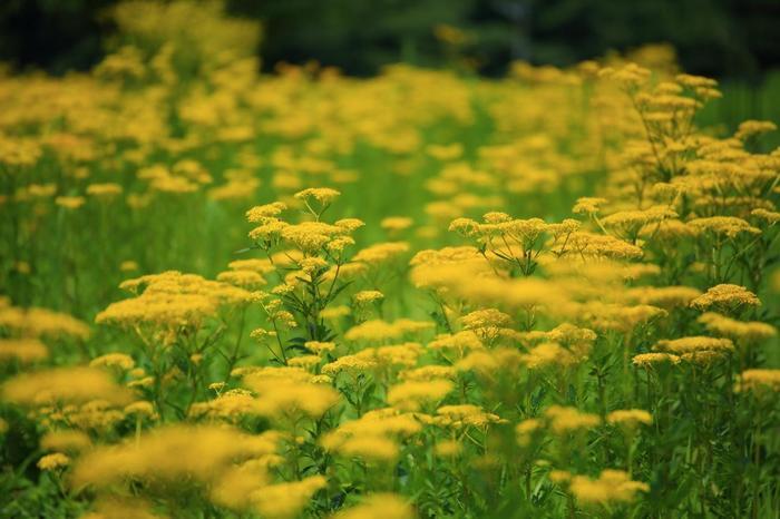 """【女郎花は、民間薬、薬草として知られ、根は、醤油が腐敗したような香りをもつことから""""敗醤根(はいしょうこん)""""と呼ばれています。乾燥させて煎じ、出産後の腰痛や浄血といった婦人科系の症状に効き目があり、「黄屈花」とも呼ばれる花は、酒に漬けて飲用すれば、生理不順に薬効があると云われています。】"""