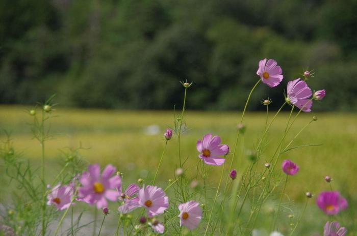 """女郎花の見頃の夏が終わっても、ここ宕陰は、""""にほんの里""""の一つ。四季折々に様々な花が咲く里山です。規模は小さくとも、秋には彼岸花や秋桜、また夏の花である向日葵も咲き開いて、この集落を彩ります。【9月初旬の樒原】"""