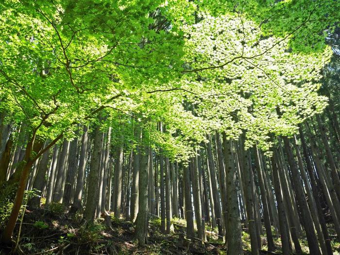 その後、しばらく杉林の木立を通ります。緑の時期はとてもさわやか。