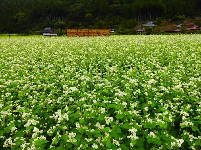 【9月中旬の蕎麦畑】