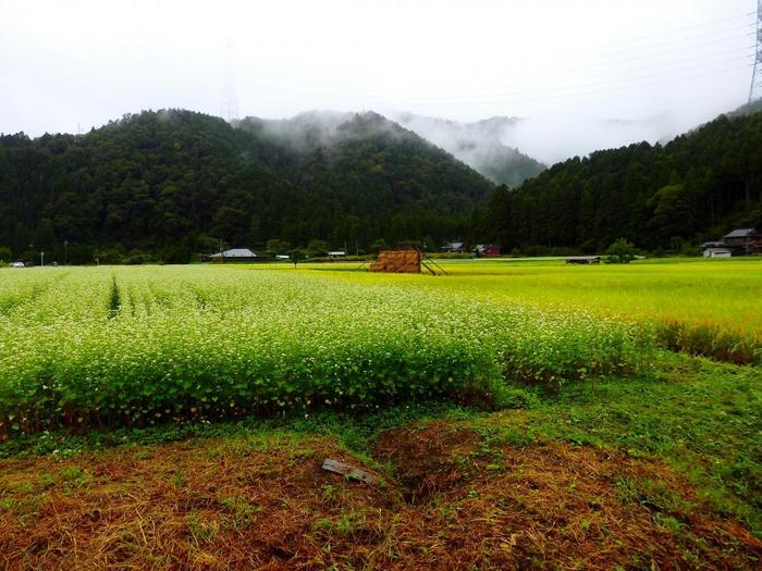 【9月中旬の「美山かやぶきの里」の蕎麦畑と稲田】