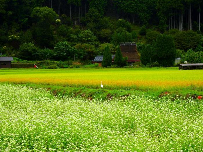 【9月中旬の蕎麦の花開く「美山かやぶきの里」】