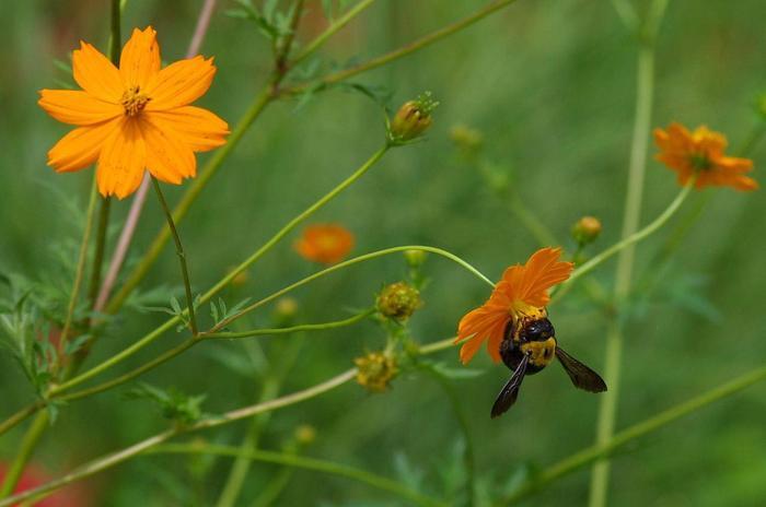 キバナコスモスは、コスモス(大春車菊)とは別種です。夏の猛暑にも強く、コスモスよりも早く開花し、花期も長く6月から11月頃まで、黄色やオレンジの花を咲かせます。園芸種として栽培されていますが、旺盛な繁殖力によって、一部が野生化して野原等に群生しています。