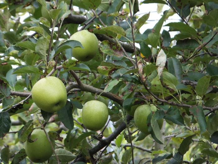 """【""""京都の信州""""とも称される「宕陰」では、酒米や蕎麦だけでなく、リンゴやブドウといった果実類も生産しています。】"""