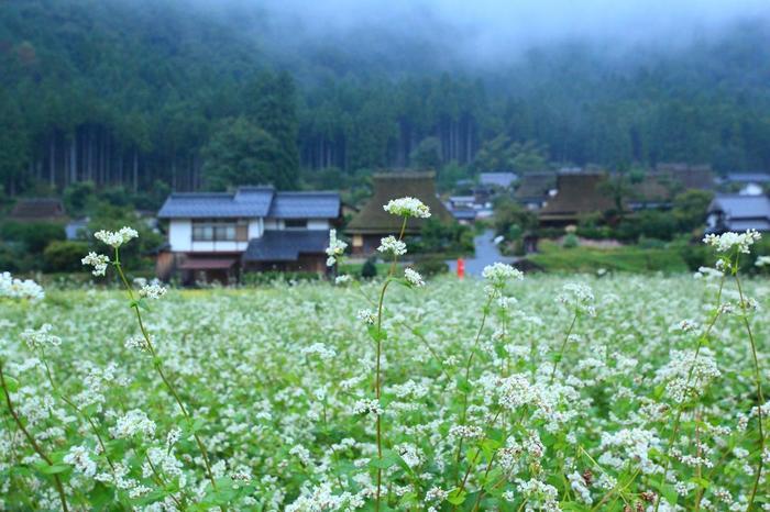 """ソバは、タデ科ソバ属の一年草です。冷涼な気候、乾燥した土地を好む植物で、山間地や冷涼な地域で栽培されています。 私たちが食する""""蕎麦""""は、蕎麦の実(種子)を挽いて粉にし、麺状にしたものです。  蕎麦というと食べることで頭が一杯になりますが、蕎麦の花は、白く可憐。一輪は小さくても、一斉に咲き開くと、畑一面を白く染め上げて、夢見るような花景色を広げます。【9月下旬の「美山かやぶきの里」】"""