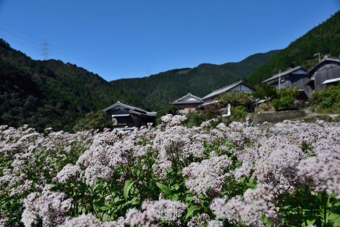 秋の七草の一つ「藤袴」は、河原や池の傍等、水辺を好む、キク科の多年草です。晩夏から初秋にかけて、細かな花を茎の先端に咲かせます。薄紫の花は、奥ゆかしさを感じる花姿です。【10月初旬の嵯峨水尾】