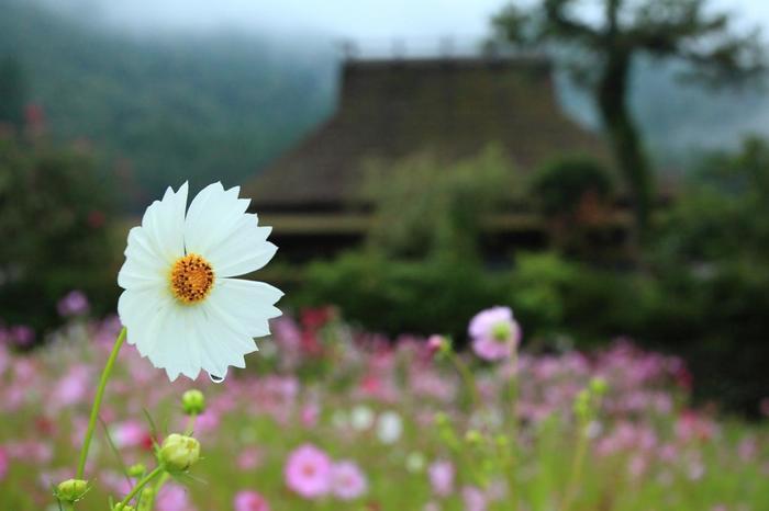 秋の花を代表するコスモスは、キク科の一年草です。秋桜(コスモス)と一般的に呼ばれていますが、「大春車菊}という名があります。日当たりと風通しが良ければ、場所を選ばずに丈夫に育ちます。赤や白、ピンクが主流ですが、濃赤や褐色の花弁のコスモスも各地で見られるようになりました。  私たちがイメージする秋のコスモスは、コスモス・ビピンナツスという種で、日照時間が短くなると花芽をつける短日植物です。以前は、夏に種蒔し、秋に花を楽しむものでしたが、現在は、日照時間に影響を受けない早生品種が主流になったため、初夏から晩秋まで花を楽しめるようになりました。【秋桜咲く9月下旬の「美山かやぶきの里」】