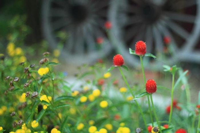 【画像の赤い花は、千日紅(センニチコウの一種「ストロベリー・フィールズ」。千日まではいきませんが、7月から9月頃まで長い間に開花する一年草です。(画像は9月下旬撮影)】