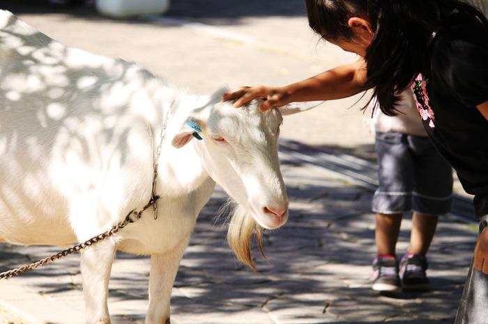 羊以外にも、ヤギや牛、馬、ポニー、うさぎなどとも触れ合えます。えさやりをしたり、子牛にミルクをあげたりできる他、なでたり、馬に乗ったりすることができ、鑑賞が中心となる動物園とは違う魅力が味わえます。