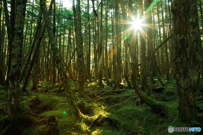 白駒池へと続く原生林は、500種類近くもの苔が自生する苔の森。静寂で神秘的な空気に包まれています。