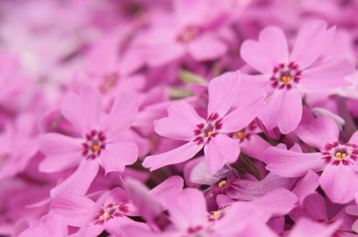 芝桜の花言葉は「燃える恋」「華やかな姿」です。足元を懸命に彩る芝桜をじっくり眺めてみませんか?
