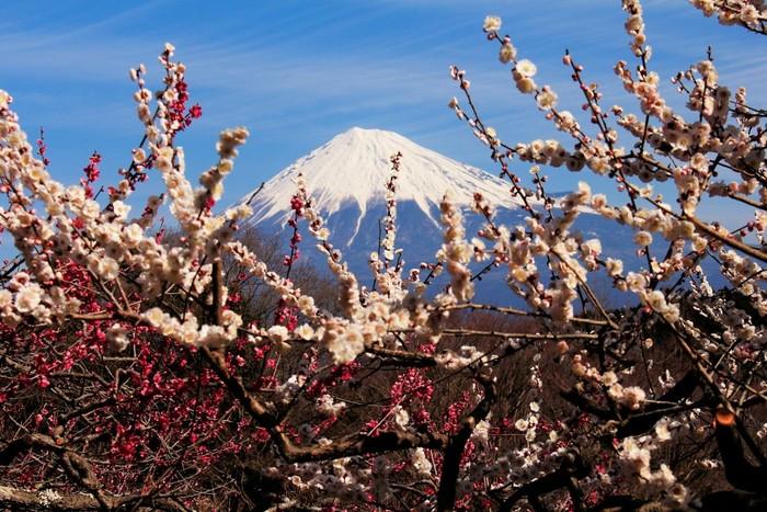 富士山と梅を一望できるスポットです。縁起のいい梅の花と富士山が相まって、素晴らしい絶景を望むことができます。