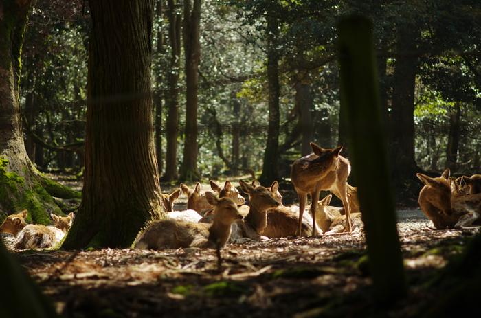 春日山原生林には数多くの鹿が生息しています。仔鹿が母鹿に寄り添う愛らしい姿は、この地を訪れる観光客の心を和ませてくれます。