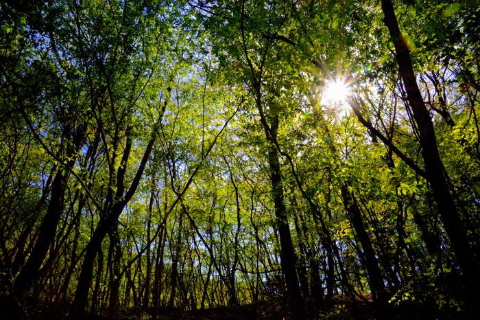 原生林の森を散策するとき、ときどき上を見てみましょう。森に差し込む木漏れ日が、樹々の美しさを引き立てています。