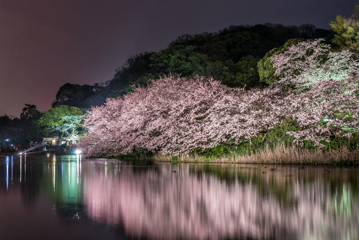 ソメイヨシノやオオシマザクラなど、約300本の桜には、期間限定でライトアップされます。