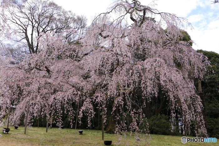 霊宝館には、何本もの枝垂桜が一斉に花を咲かせます。空から降り注ぐように咲く淡いピンク色の花々は、まるで天女の羽衣のような美しさです。