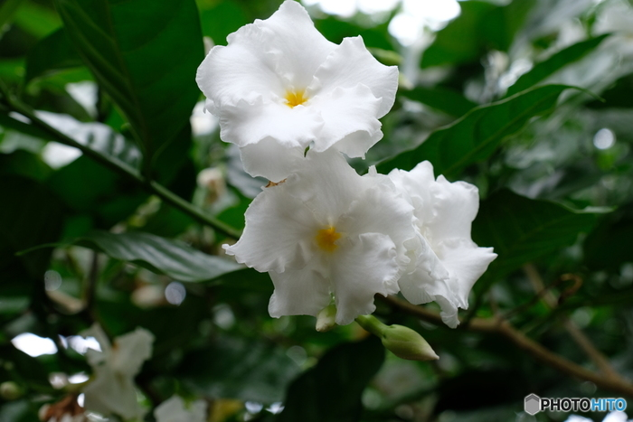 """アカネ科クチナシ属の常緑低木。別名:ガーデニア。日本では、梅雨の時期に強い芳香を漂わせます。化粧品などの香料""""ガーデニア""""としても知られますが、花からはわずかな量しか抽出できず、よく似た香りを人工的に調合しているそうです。"""