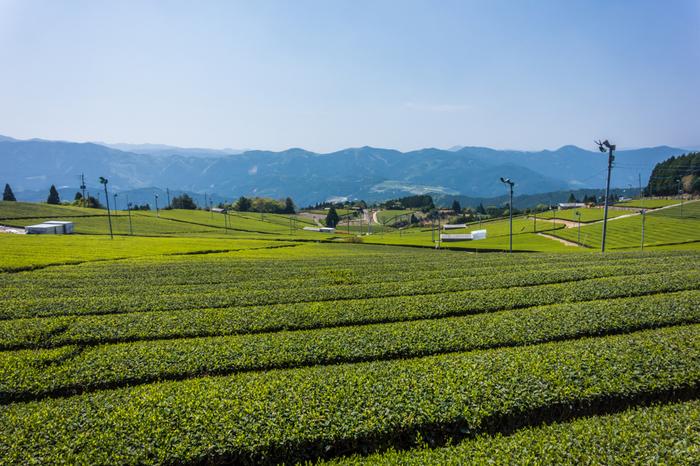 日本を代表する銘茶の一つ、八女茶の産地でもある星野村では、村内のいたるところで茶畑を見かけることができます。緩やかな傾斜地に茶畑が広がっている様は、まるで大地に緑の絨毯を敷き詰めたようです。