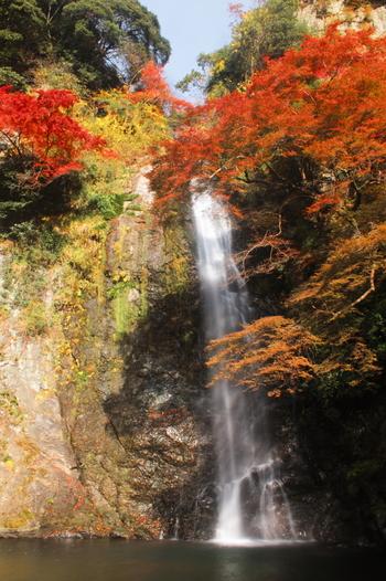 春夏秋冬で美しい景色を見せてくれる明治の森箕面国定公園ですが、晩秋の美しさは格別です。1300種類以上もの樹々が鮮やかに色づき、箕面山をはじめとする北摂の山々全体が錦をまとったかのような姿へと変貌します。